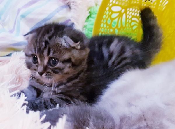 Котята,  редких окрасов, шотландские 6