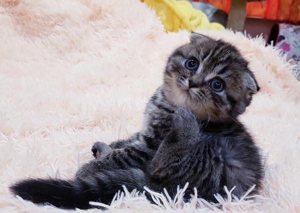 Котята,  редких окрасов, шотландские 3
