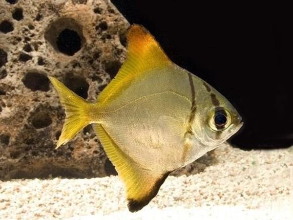 Монадоктил желтый