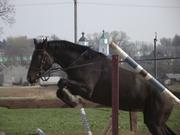 Лошадь тракененская чистокровная