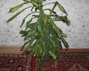 продается комнатное растение юкка