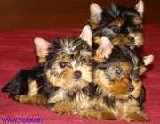 Продаются высокопородные щенки йоркширского терьера из питомника