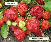 Сажены крупноплодной клубники 12 сортов
