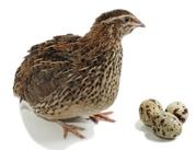 Всегда свежие перепелиные яйца с Родового поместья с доставкой по РБ