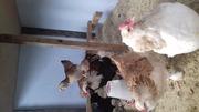 Продам цыплят редких пород