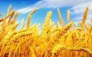 Пшеница фуражная опт