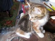 Котята длинношерстные чёрный и трёхцветка