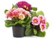 Цветы : крокусы,  примула,  гиацынты.