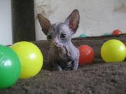 Котята Донского Сфинкса от породистых родителей