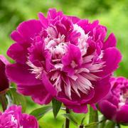 Отборные сортовые пионы,  розы,  тюльпаны,  гортензии,  клематисы,  удобрен